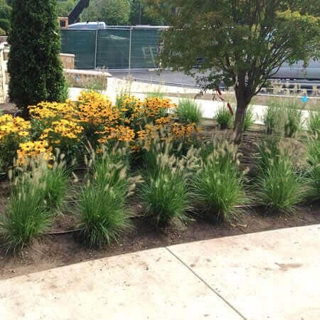 New Hampshire commercial landscaping bed showing rows of plantings